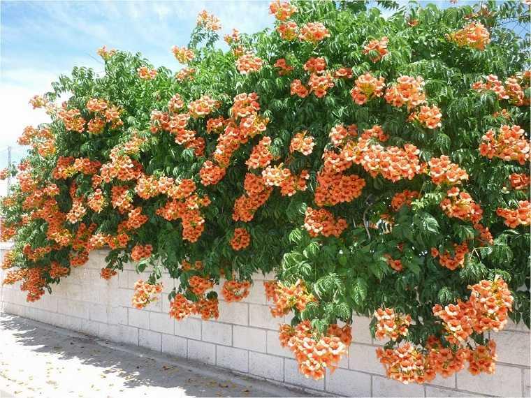 plantas-colgantes-de-exterior-campsis