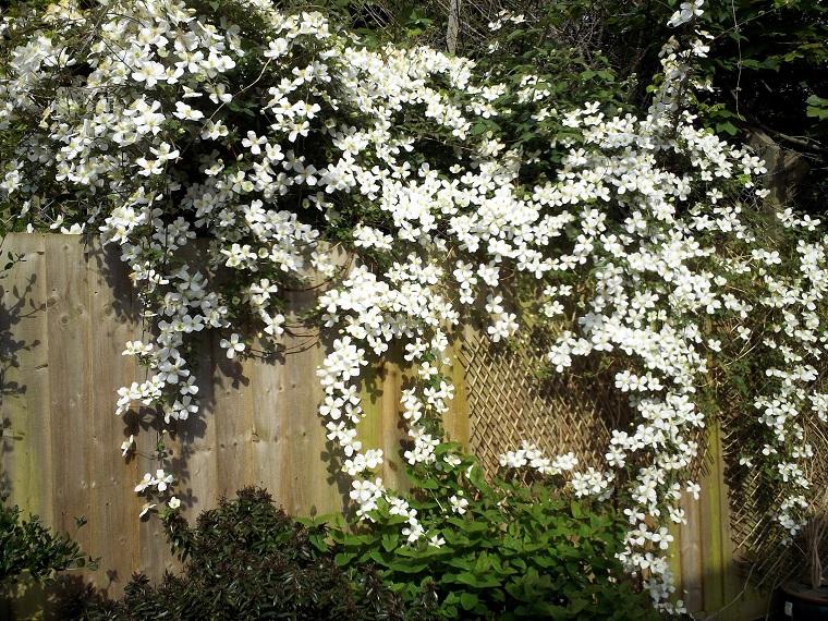 plantas-colgantes-de-exterior-clematide