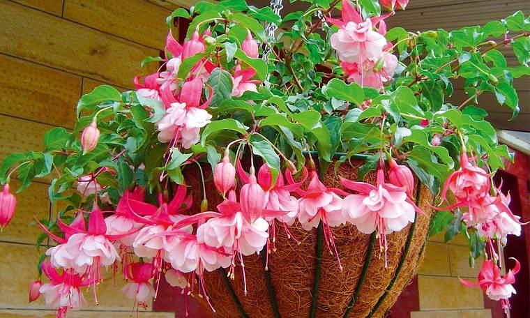 plantas-colgantes-de-exterior-fucsia