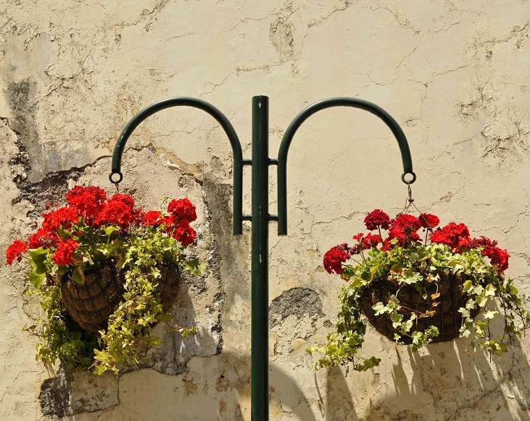 Plantas colgantes de exterior geranio