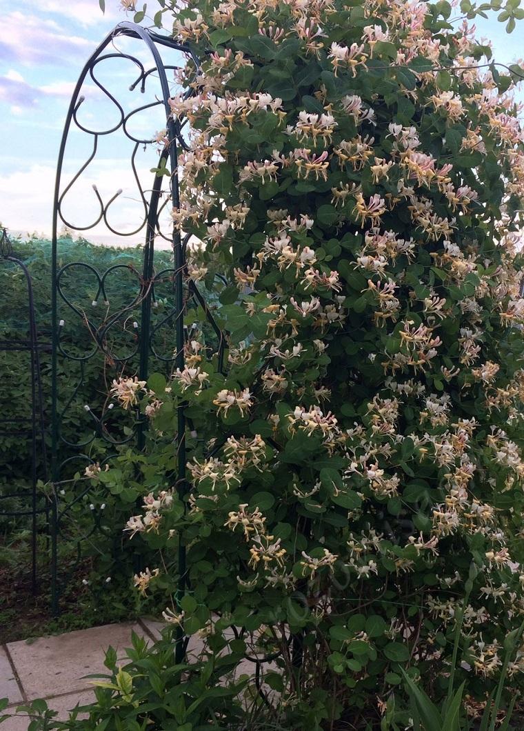 Plantas colgantes de exterior-madreselva