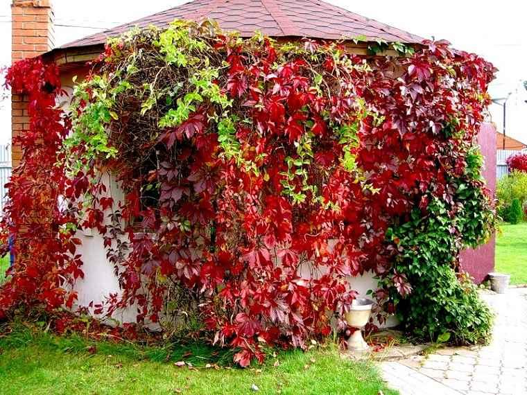 Plantas colgantes de exterior uvas-soltera