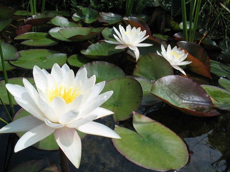 Fotos-de-nenufares-cultivar-blancas