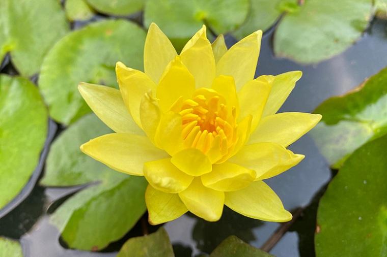 Fotos-de-nenufares-cultivar-color-amarillo
