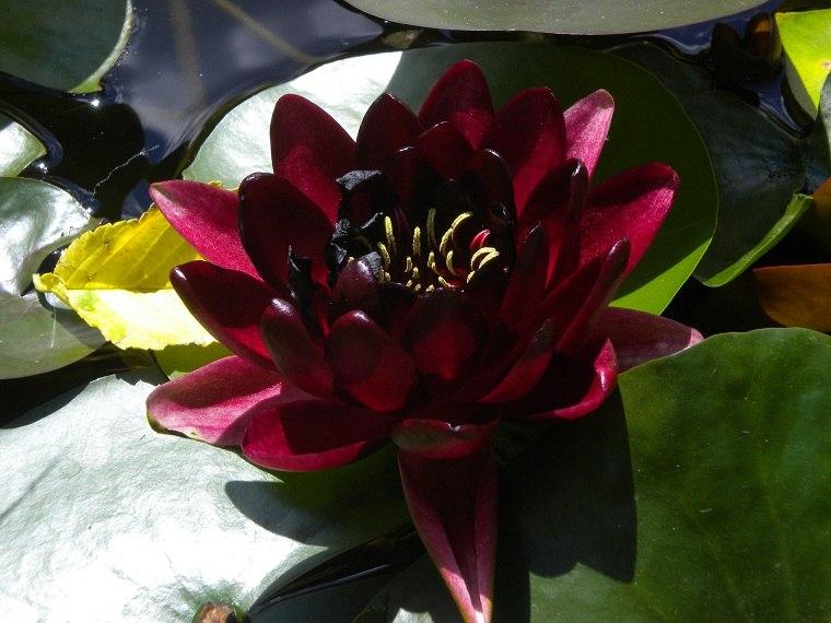 Fotos-de-nenufares-cultivar-color-negro