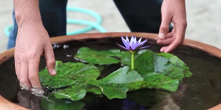Fotos de nenúfares -cultivar-estanque-casa