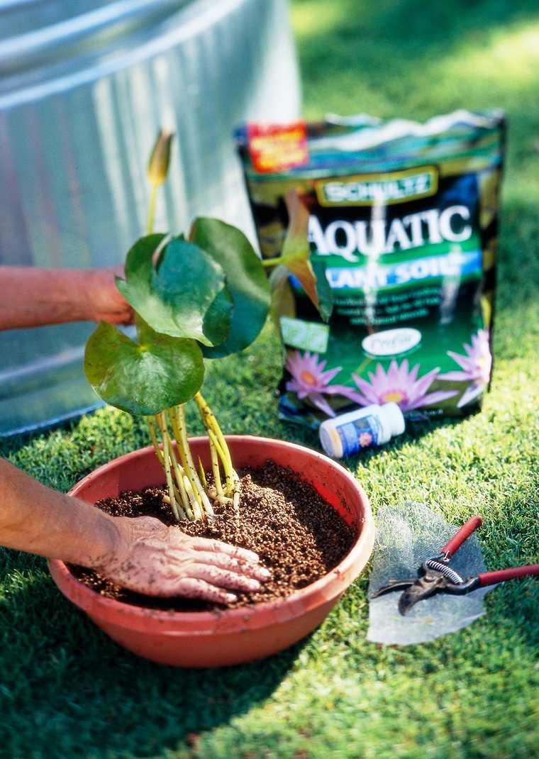 Fotos de nenúfares -cultivar-estanque-maceta