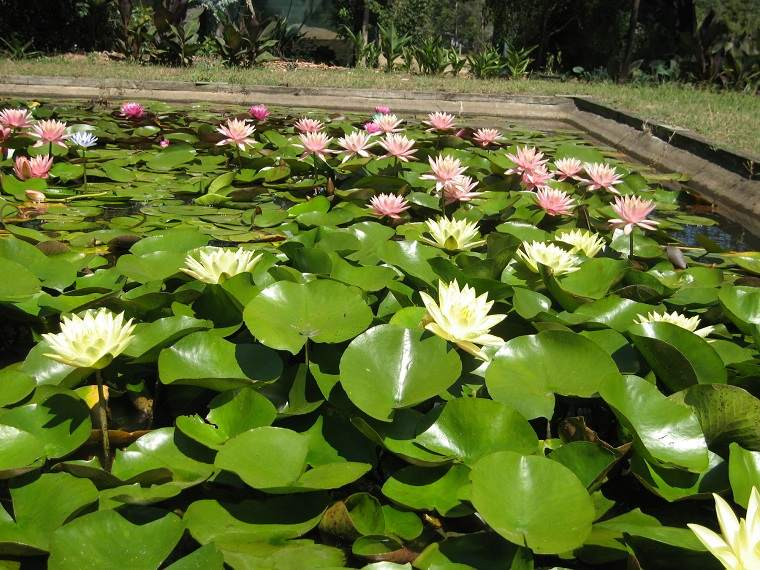 Fotos-de-nenufares-hojas-flores