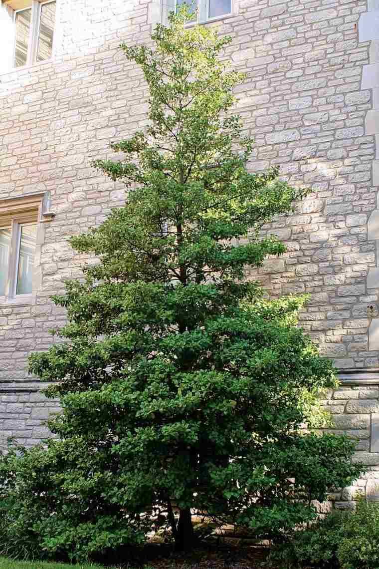 árboles para jardín acebo americano