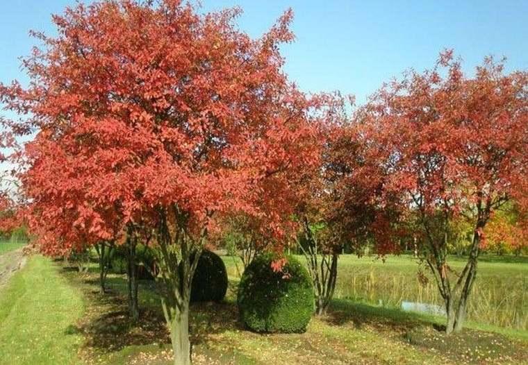 árboles para jardín amelanchier