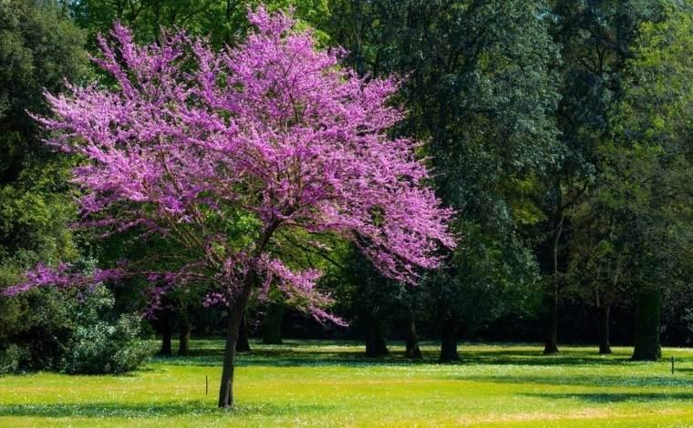 árboles para jardín arbol cercis