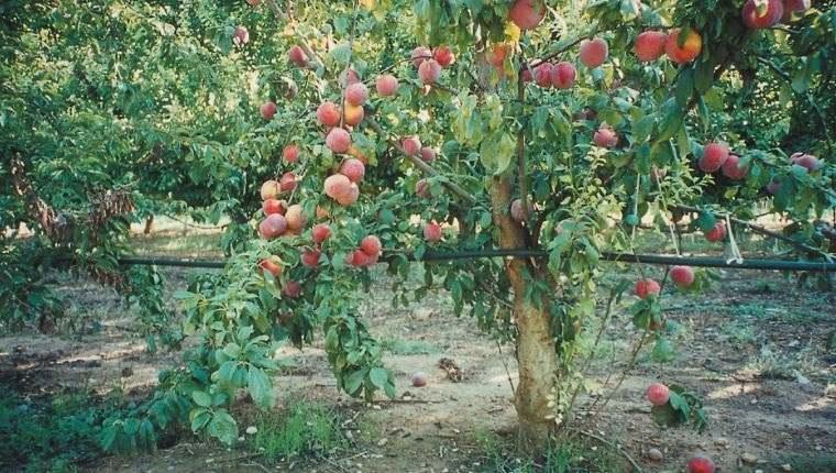 árboles para jardín arbol melocoton