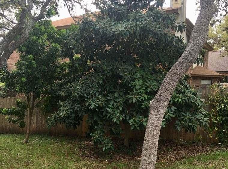 árboles para jardín arbol nispero