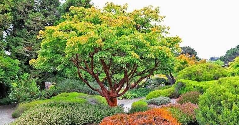 árboles para jardín arce corteza de papel