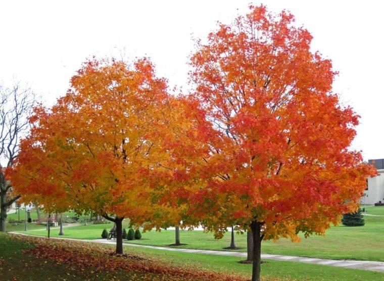 árboles para jardín arce de azucar