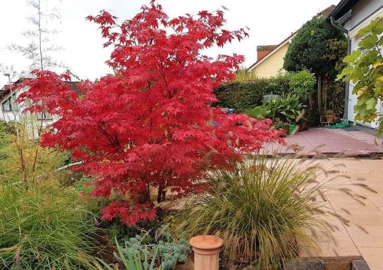 árboles para jardín arce japones