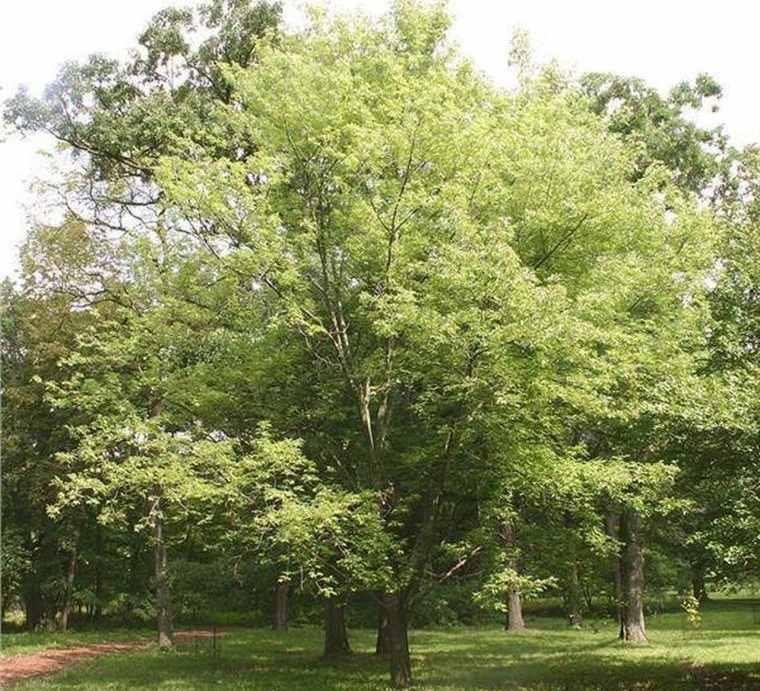 árboles para jardín arce plateado