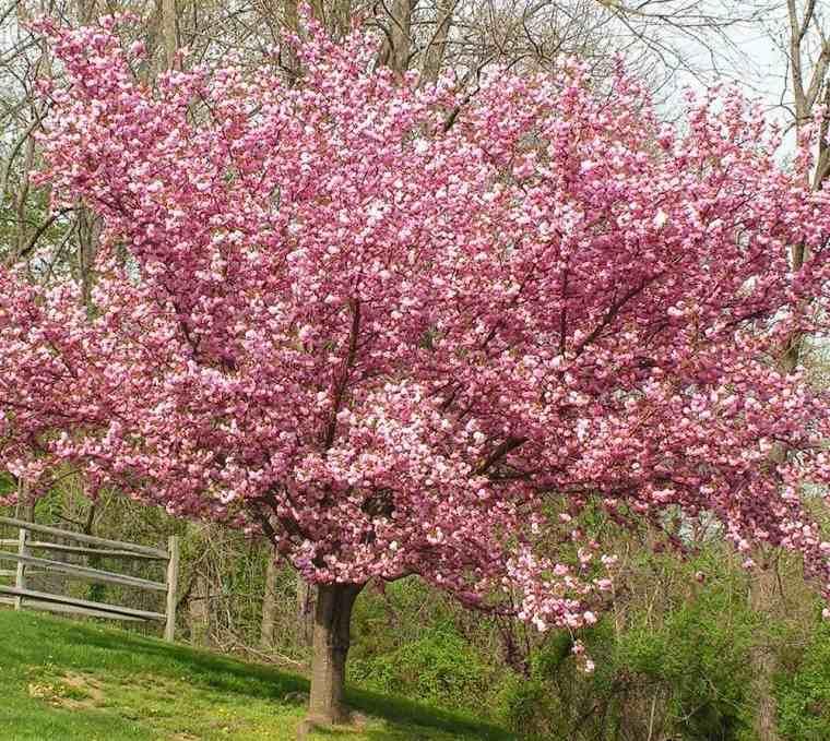 árboles para jardín cerezas ornamentales