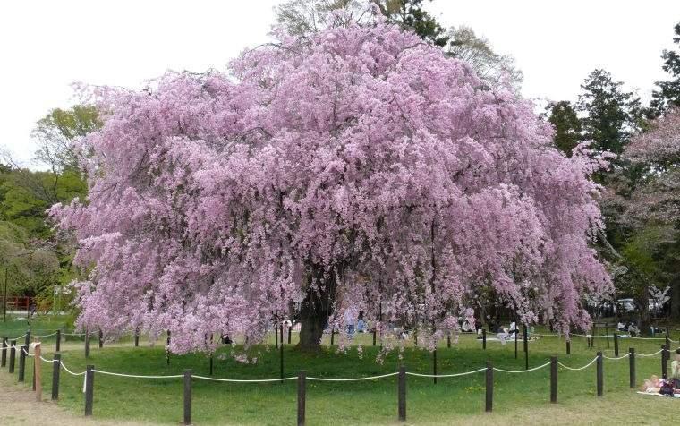 árboles para jardín cerezo lloron