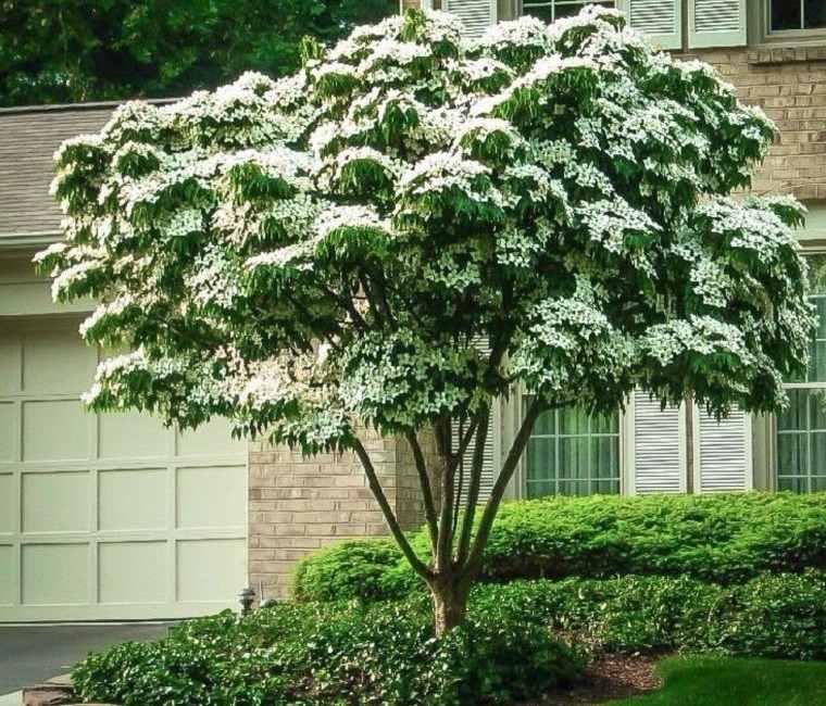 árboles para jardín cornejo japones