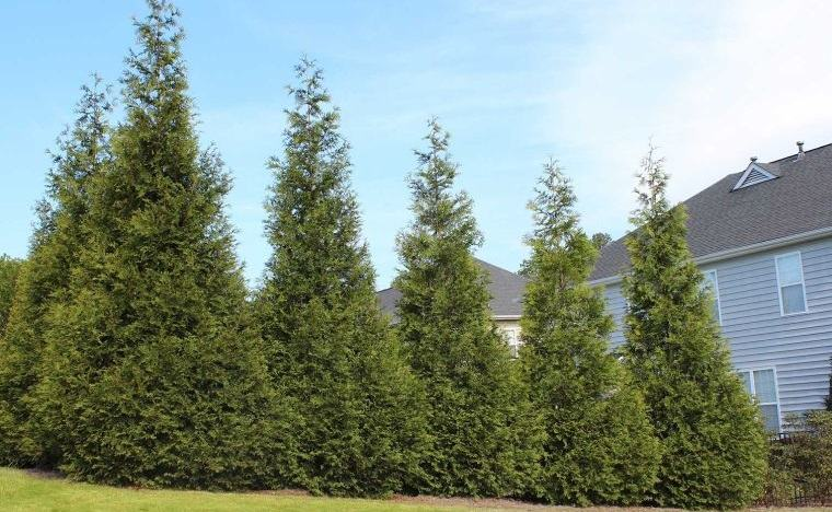 árboles para jardín especie arborvitae