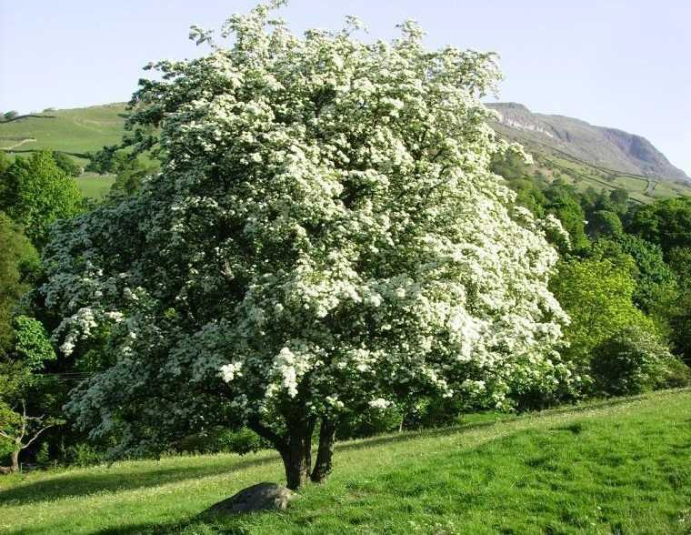 árboles para jardín espino