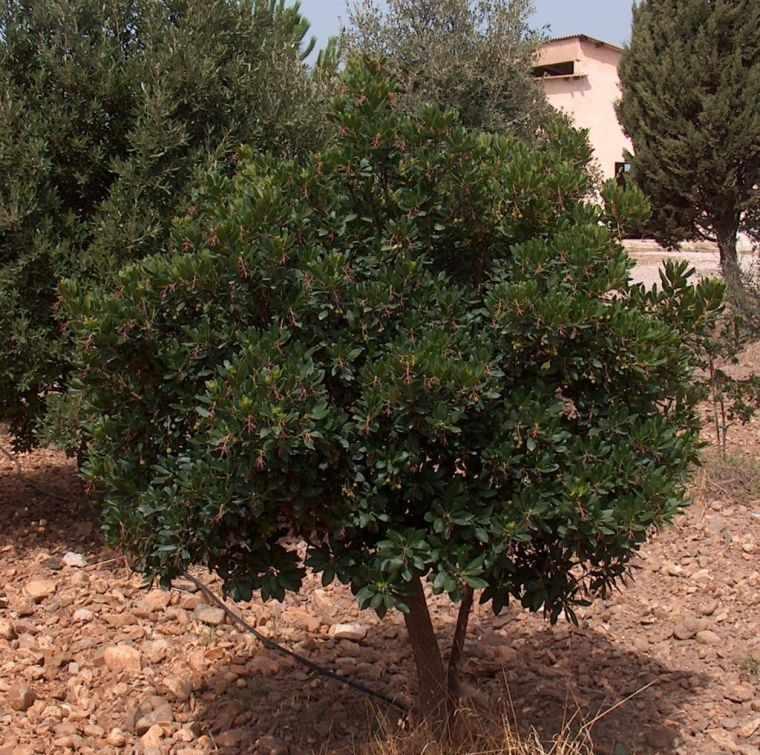 árboles para jardín madroño