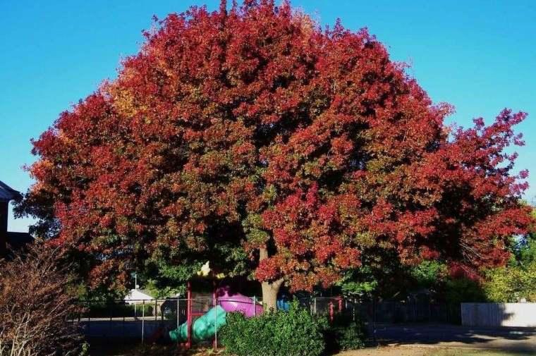 árboles para jardín roble rojo