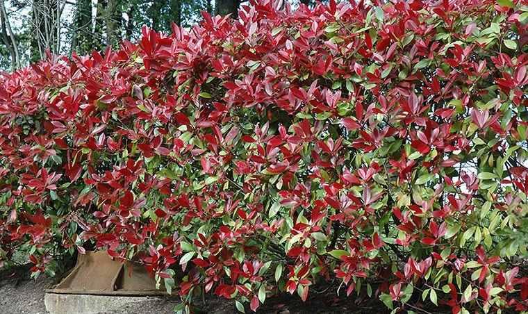 cómo cerrar una terraza sin obra con planta photinia