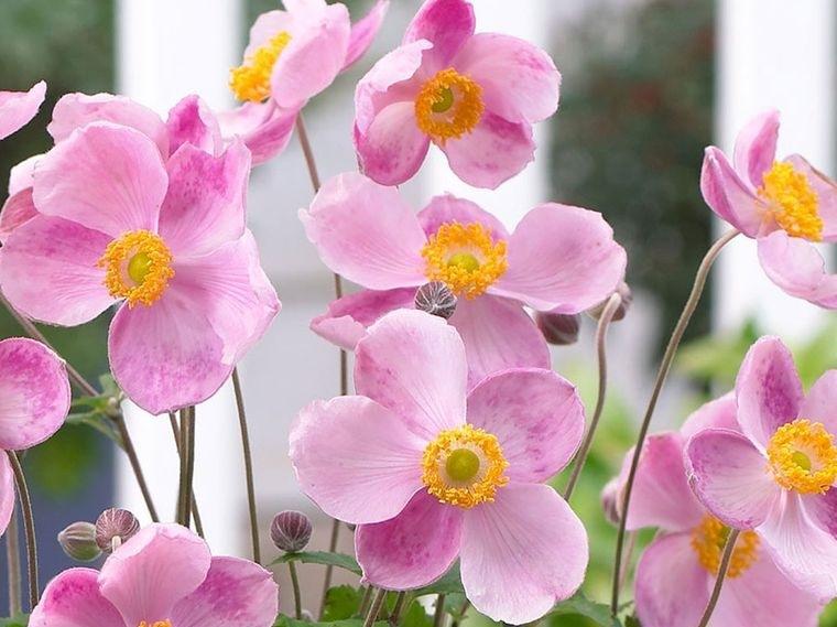 flores de otoño anemona japonesa
