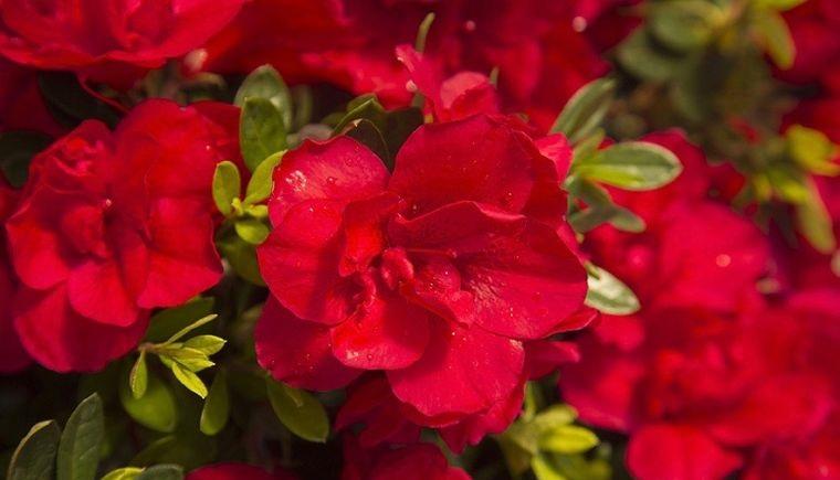 flores de otoño azalea