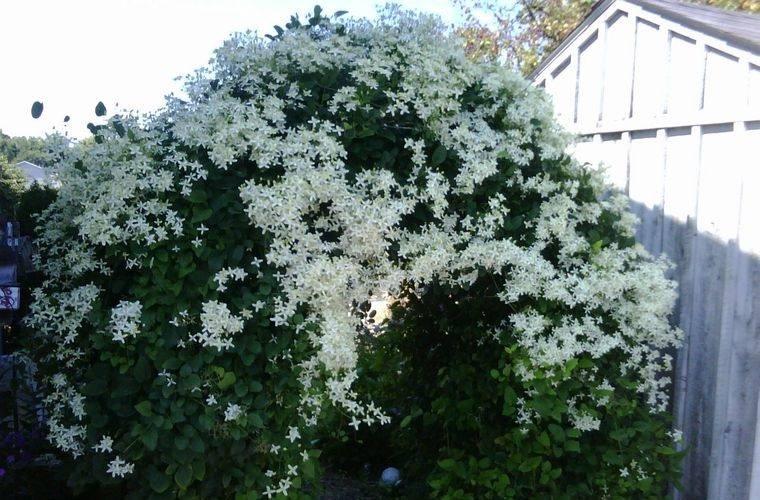 flores de otoño clematide