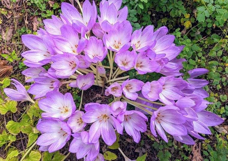 flores de otoño colquico