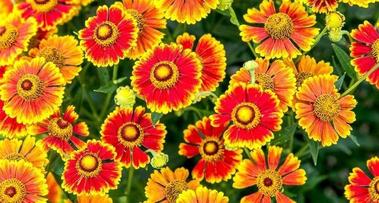 flores de otoño helenio