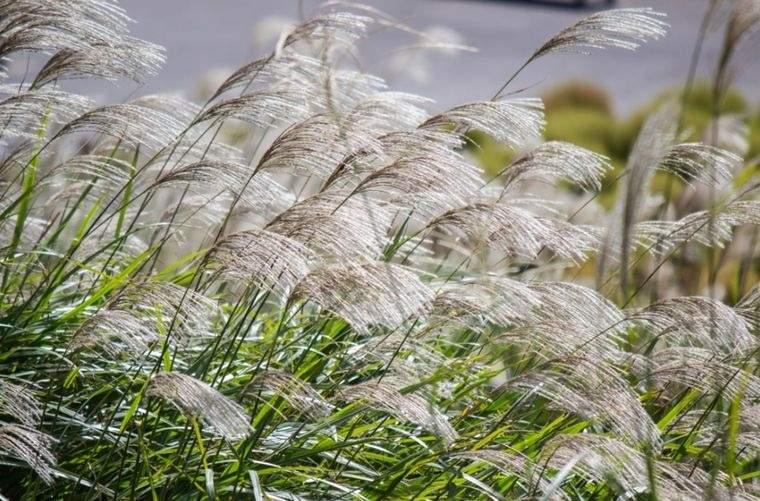 flores de otoño hierba de doncella