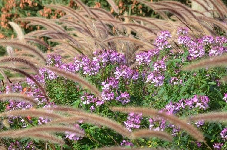 flores de otoño hierba de fuente purpura