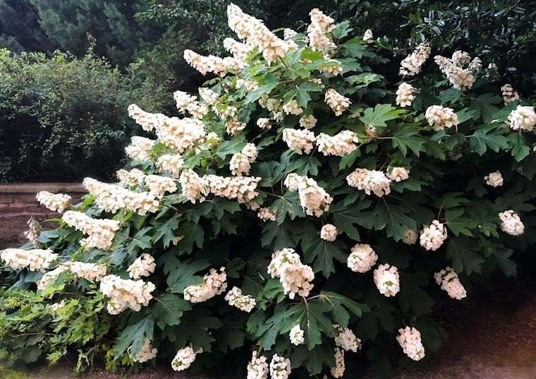 flores de otoño hortensia hoja de roble