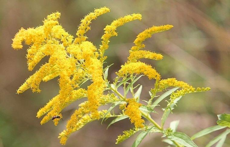 flores de otoño vara de oro