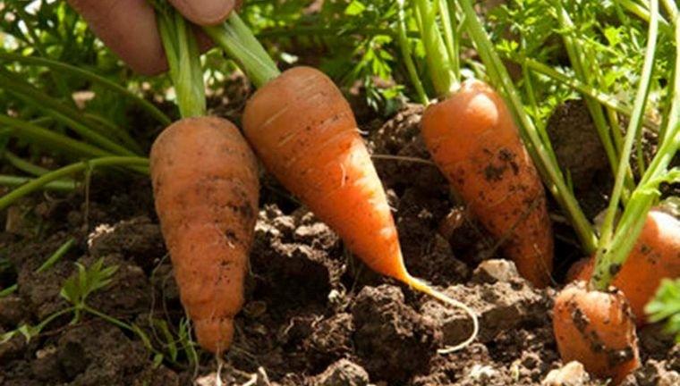 huerto ecológico en casa cultivar zanahorias