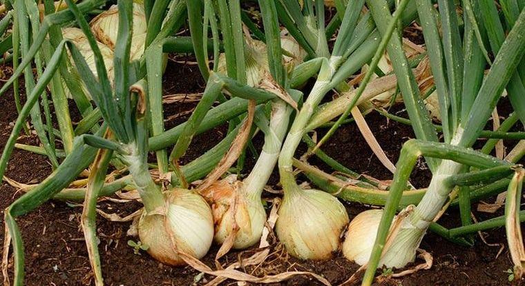 huerto ecológico en casa cultivo de cebollas
