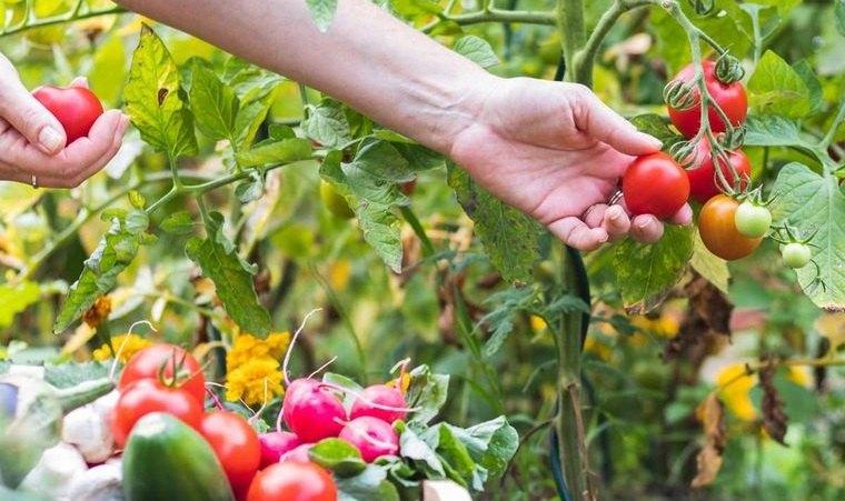 huerto ecológico en casa cultivo de tomates