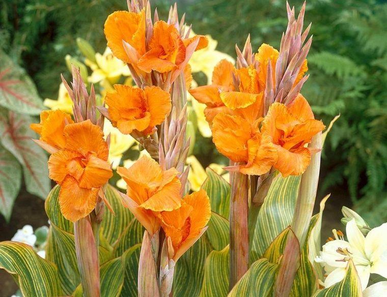 plantas de verano canna lily