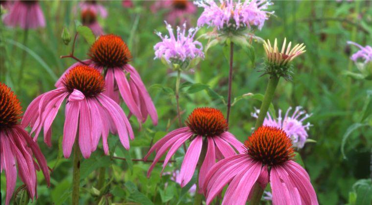 plantas de verano coneflower