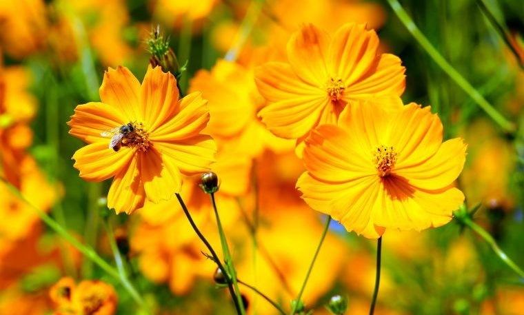 plantas de verano cosmos