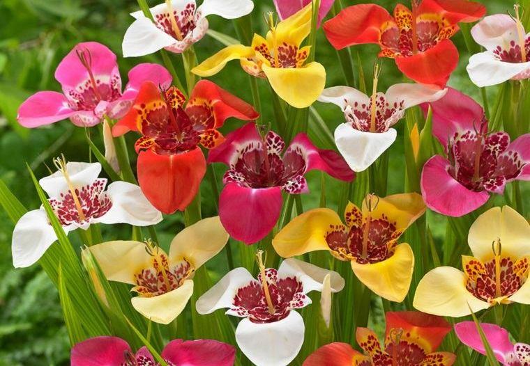 plantas de verano flor de tigre