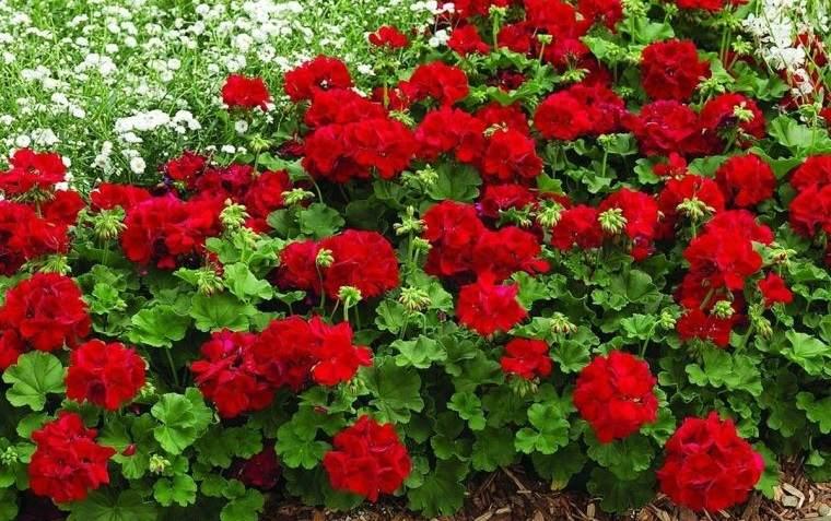 plantas de verano geranio