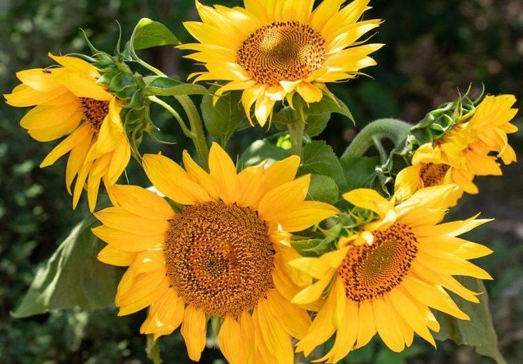 plantas de verano girasol