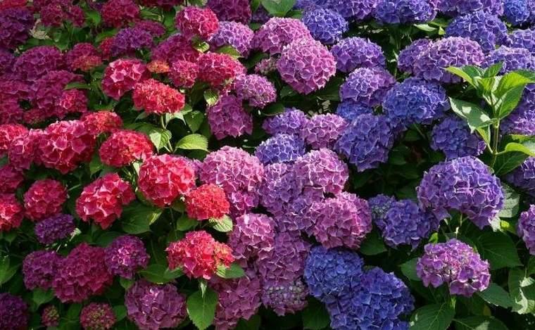 plantas de verano hortensia