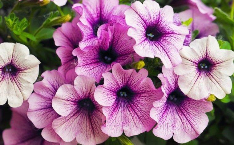 plantas de verano petunia