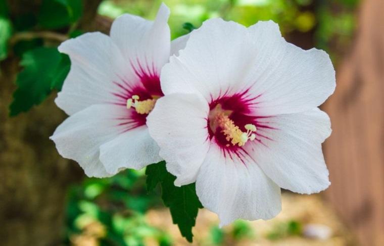 plantas de verano rosa de sharon